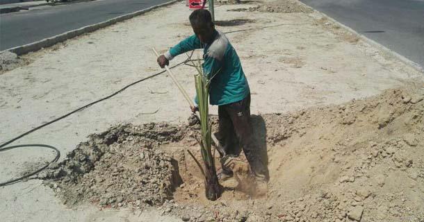 همزمان با عيد سعيد غدير؛ 80 نفر درخت خرما در بلوارهاي شهر لار كاشته شد